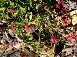 Cherry sage at La Mesa Garden Park